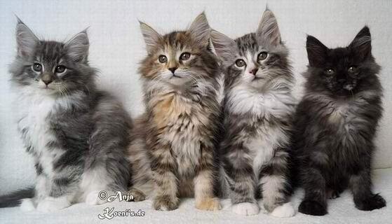 Yukito, Yamina, Yoshi & Yema - 11 weeks old